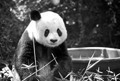 Happy Father's Day (Rita Petita) Tags: gaogao sandiegozoo sandiego california china panda giantpanda