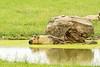 Sichuan Takin (jmhutnik) Tags: water sichuantakin thewilds ohio cumberland rock reflection grass horns pond