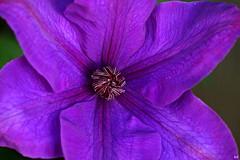purple passion (Kens images) Tags: flowers purple flora gardens nature close up colour ontario kanata canon 40 d 90 mm macro home spring