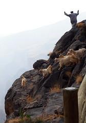 Goat herder gives up (RJAB2012) Tags: oman goats cliff 100v10f
