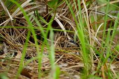 DSC00872.jpg (joe.spandrusyszyn) Tags: snake orlando southernblackracer vertebrate coluber coluberconstrictorpriapus reptile animal scaledreptile unitedstatesofamerica easternracer serpentes colubrinae byjoespandrusyszyn squamata coluberconstrictor florida shinglecreek shinglecreekregionalpark colubridae nature
