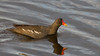 Common Moorhen (Gallinula chloropus) - Seaton Wetlands, Seaton, Devon - 3 June 2018 (Dis da fi we) Tags: common moorhen gallinula chloropus seaton wetlands devon