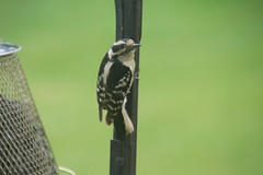 Downy Woodpeckers (Saline, Michigan) - June 2018 (cseeman) Tags: downywoodpecker woodpecker suet feeder birds saline michigan backyard suetfeeder spring downysaline062018