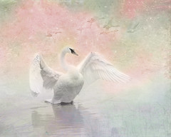 Swan Display Spring Pastel Colors (Patti Deters) Tags: swan white bird wings neck flapping display reflection texture pink green blue pastel water scene avian wildlife one single soft waterfowl waterbird shorebird pattideters