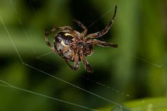 752A4248-2 (Trefor2011) Tags: norfolk orbwebspider stbenets arachnid macro webmaking horning england unitedkingdom gb