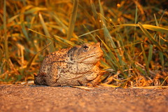 A female toad in a night ambush (Zavud) Tags: toad frog amphibian amphibians frogs toads animals wildlife zoology biology ecology nature conservation
