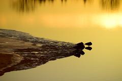 _DSC4640  Beautiful sunrise (christinachui79) Tags: dawn silhouettephotography outdoors waterscapephotography peaceful mothernature nikondigital landscapephotography flickrlandscape flickrnature naturephotography waterscape goldencolour nikond750 river shore bird golden reflections silhouette morning sunrise tranquil nature landscape serene nikon d750