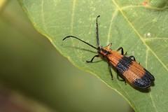 Calopteron reticulatum (Fabricius, 1775) (carlos mancilla) Tags: insectos escarabajos beetles calopteronreticulatumfabricius1775 calopteronreticulatum bandednetwingedbeetle lycidae lycinae canoneos700d canoneosrebelt5i ef100mmf28macrousm