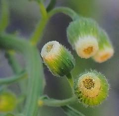 052518FSJ-25e (djfnola) Tags: davidfischer olympus mzuiko1240mm28pro neworleans la louisiana fsj faubourgstjohn weeds buds flower detail macro closeup