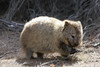 Wombat (Bert#) Tags: australia tasmania maria island wombat animal nature wildlife hike teddybear cute travel