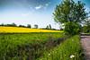 Rapeseed (Maria Eklind) Tags: countryside maskros skåne landscape rapeseedfield dandelion rapsfält rapeseed raps outdoor malmö yellow oxie field skånelän sverige se