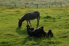 Donkeys in Aachen on May 25, 2018 (X-Andra) Tags: aachen animal donkey donkeys german germany grass landscape meadow pasture spring wildlife northrhinewestphalia de