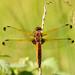Blue Chaser,  Libellula fulva, Spidsplettet libel, female (LP mudler) Tags: bluechaser larspedersen libellulafulva spidsplettetlibel