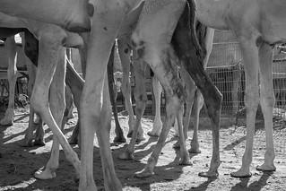 Camel Market - Al Ain, Abu Dhabi, UAE