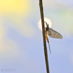 Moment in the Spotlight (RichardBeech) Tags: mayfly insect fly wings ephemeroptera river wild wildlife nature animal bokeh spotlight brief passing oneday dorset blandford blandfordforum uk canon canon5dmarkiii sigma sigma15028macro