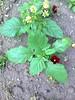 Fotografie69578 (chicore2011) Tags: rapeseed pansies greenspace
