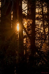 Evening sun through trees. (Explored) (Different Aspects) Tags: 7dwf crazytuesday uprightformat trees sun sunset