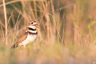 ''Light!'' Pluvier Kildir-Killdeer