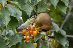 Life is a bowl...no, a tree...full of cherries! (lamoustique) Tags: cedarwaxwing bombycillacedrorum jaseurdamérique fortvancouver vancouver washington