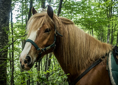 Muttley (larecettedujour) Tags: abruzzo camp haflinger italy ponies sacredwalks muttley