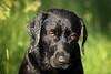 just say (uwe.kast) Tags: labrador labradorretriever labradorredriver bichou bokeh eyes black dog hund haustier canon canon750d ef70200mm