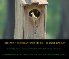 Three species of ducks lay eggs in one box -- who will jump out? (Tara Tanaka Digiscoped Photography) Tags: duck duckling hatching hoodedmerganser blackbelliedwhistlingduck digiscoped gh4 4k manualfocus woodduck swamp cypress florida bird