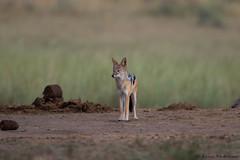 Putting things into perspective (leendert3) Tags: leonmolenaar southafrica krugernationalpark wildlife nature mammals blackbackedjackal coth5 ngc npc