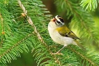 Oiseaux des sapins (Ariège)