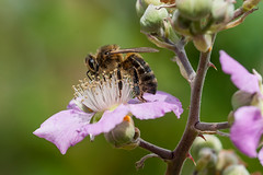 Apis Mellifera (Hedrael) Tags: bee honey mallorca macro spain spring abeja primavera sony sonya380 minolta minolta100mm flower flor
