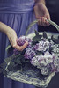 (Rebecca812) Tags: lilacs flowers floral beauty nature flower basket hands lavender purple fresh innocence wholesome purity girl dress midsection partof romance canon people rebeccanelson rebecca812