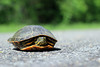 Western Painted Turtle (U.S. Fish and Wildlife Service - Midwest Region) Tags: turtle road basking minnesotavalley bloomington mn 2018 may seasons minnesota nationalwildliferefuge nwr paintedturtle reptile refuge spring wildlife animal publicland