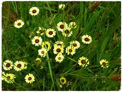 Flores en armonía. (Los colores del Barbanza) Tags: flores armonía verde amarillo flowers harmony green yellow fleurs harmonie vert jaune olveira ribeira barbanza coruña galicia españa spain colorful wildflower