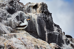 Nazca booby, Isabela Island (Luis Granada) Tags: galapagos nazcabooby isabelaisland isabela canon wildlife bird islands marine birds ecuador south america marinebird marinelife island rock birdphotography travel