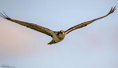 Osprey on the wing (Steve (Hooky) Waddingham) Tags: bird british countryside nature prey fishing wild wildlife