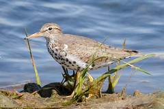 Spotted Sandpiper (tresed47) Tags: 2018 201805may 20180521njebforsythebirds birds canon7d content ebforsythenwr folder may newjersey peterscamera petersphotos places sandpiper season shorebirds spottedsandpiper spring takenby us