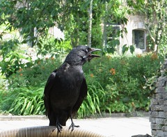 The eagle never lost so much time as when he submitted to learn of the crow. (~Ingeborg~) Tags: meinge utrecht botanischetuinen botanicalgardens universiteitutrecht utrechtuniversity natuur nature hjalmarandmarissa ♥lovelyday♥ blackcrow zwartekraai krijsen scream bird vogel