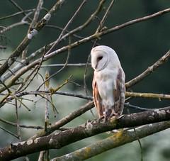 Barn Owl at Dusk (1) (magpie280168) Tags: barnowl norfolk