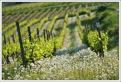 Rheinhessen (2) (hjhoeber2) Tags: batis28135 zeiss rheinhessen vineyard sony a6000 nature germany deutschland ilce emount sonnar aposonnar dandelion löwenzahn paardebloem weinreben