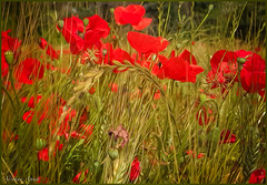 6 giugno 2018 (adrianaaprati) Tags: papaveri june park spikes poppies nature red colors spring painterly