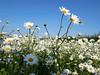 Dorset daisies (auroradawn61) Tags: dorset uk england june 2018 bereregis roadside daisies flowers lumixgx80 bluesky fieldofflowers explored interestingness