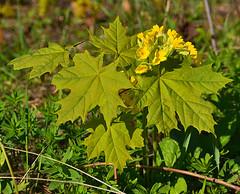Maple and Primula (МирославСтаменов) Tags: russia zhiguli mogutova acer maple primula sapling blooming meadow