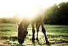 Lykkesborgs Alban (vesterskov) Tags: daniel vesterskov foto photo fotografi photography sony a99 a99v slta99 slta99v sigma 70200mm f28 28 ii ex dg apo macro hsm 70200 mm full frame fullframe team pony power horses horse hest hesteliv heste dansk danish ponies riding ride lykkesborg warmblood foal sunset evening