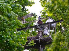 GT Hawk Nest - 0604 (rbs10025) Tags: redtailedhawk buteojamaicensis bird young nest grantstomb generalgrantnationalmemorial morningsideheights manhattan nyc