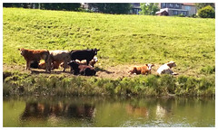 Forth and Clyde Canal Cattle. (Paris-Roubaix) Tags: