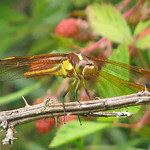 Yellow-sided skimmer - in blackberry patch thumbnail