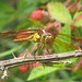 Yellow-sided skimmer - in blackberry patch