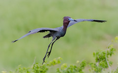 Little Blue Heron (tresed47) Tags: 2018 201806jun 20180606newjerseybirds birds canon7d content folder heron june littleblueheron newjersey oceancity peterscamera petersphotos places season spring takenby us ngc