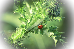 Ladybug (PinoyFri) Tags: ladybug marienkäfer mariquita bakukang 瓢蟲 coccinelle joaninha gărgăriță เต่าทอง distel thistle cardo devedikeni chardon ciulin bokeh makro macro nahaufnahme