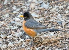 American Robin (Ed Sivon) Tags: american canon nature lasvegas wildlife wild western southwest desert clarkcounty vegas bird flickr nevada