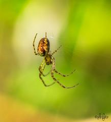 Spider (LeFoto - photography by Peter Le Cointe) Tags: web arachnid arachnophobia spider lefoto peterlecointe macro blashfordlakes newforestphotographer